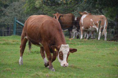 Unsere Rinder vom Kapellchenhof